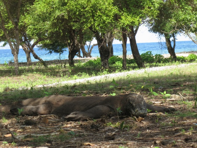 Biggest komodo we met during the trip!